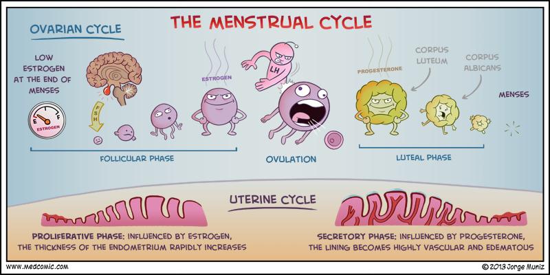 Regulowanie cyklu miesiączkowego.